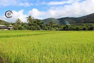 Rizière durant notre Circuit trésors du Nord du Thaïlande - Voyage en Thailande