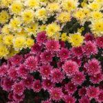 La Fête des Fleurs de Chiang Mai